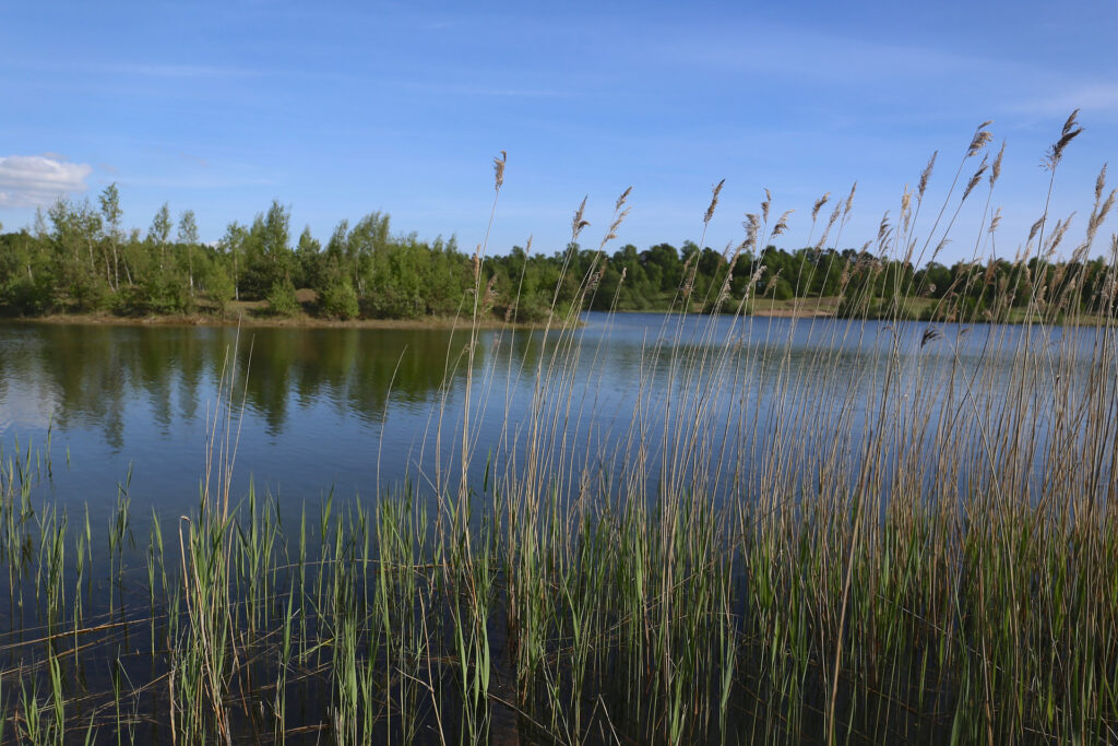 En sjö med stilla vatten, vass i förgrunden och en blå himmel..